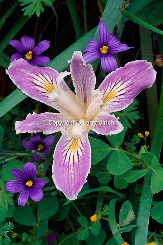 Long-tubed iris <br />