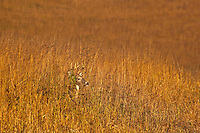 Whitetail deer, buck, standing amid the tallgrass prairie along the Tallgrass Trail at Neal Smith National Wildlife Refuge, Prairie City, Iowa, _MG2_17192