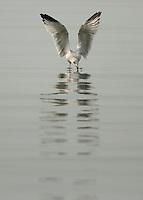Angellic Seagull, Lake Oneida, New York.