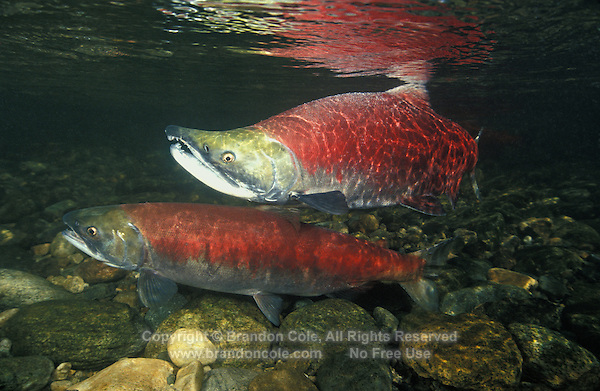kf1590. Sockeye Salmon (Oncorhynchus nerka), male (top) and female (bottom) preparing to spawn. Adams River, British Columbia, Canada..Photo Copyright © Brandon Cole. All rights reserved worldwide.  www.brandoncole.com..This photo is NOT free. It is NOT in the public domain. This photo is a Copyrighted Work, registered with the US Copyright Office. .Rights to reproduction of photograph granted only upon payment in full of agreed upon licensing fee. Any use of this photo prior to such payment is an infringement of copyright and punishable by fines up to  $150,000 USD...Brandon Cole.MARINE PHOTOGRAPHY.http://www.brandoncole.com.email: brandoncole@msn.com.4917 N. Boeing Rd..Spokane Valley, WA  99206  USA.tel: 509-535-3489