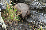 The Big Hairy Armadillo, Chaetophractus villosus, is the largest and most numerous of the armadillo species in South America.  Torres del Paine National Park, Chile.  A UNESCO World Heritage Site in the Patagonia region of South America.  It is primarily nocturnal but does forage for worms and insects during the day when necessary.