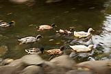 USA, Oregon, Ashland, ducks swim in the Lithia River in Lithia Park