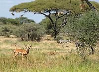 Common Impala, Aepyceros melampus melampus, and Grant's Zebras, Equus quagga boehmi, in Tarangire National Park, Tanzania