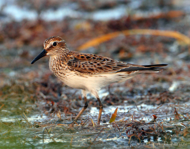 White-rumped sandpiper in breeding plumage on May 11 at Rockport, TX.