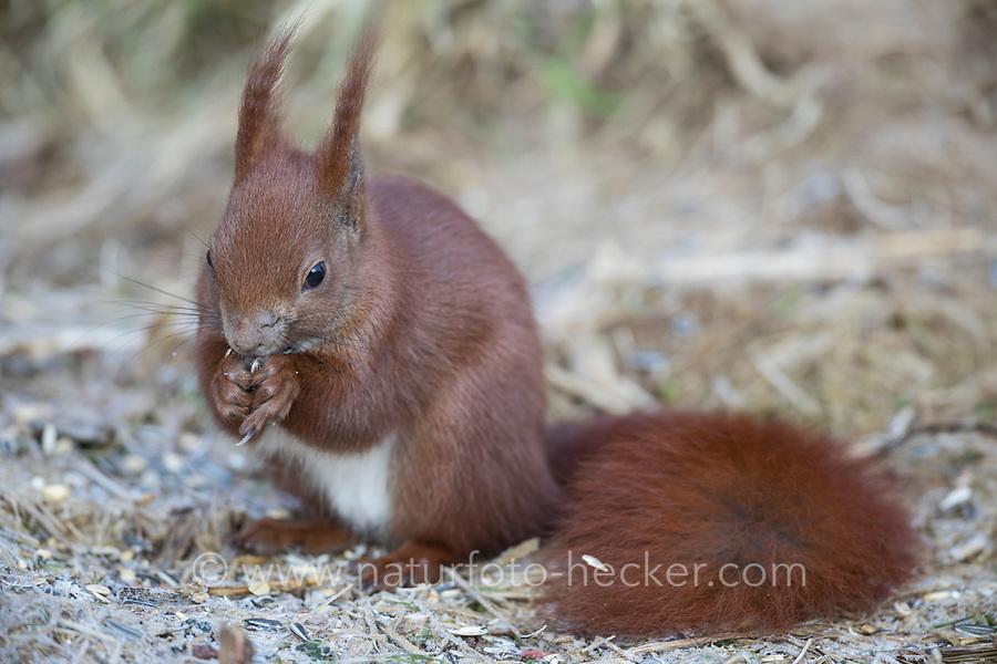 Europäisches Eichhörnchen, Eurasisches Eichhörnchen, Eichhörnchen, im Winter bei Schnee, frisst Vogelfutter am Futterhäuschen, Sciurus vulgaris, European red squirrel, red squirrel, L'écureuil d'Eurasie, écureuil roux