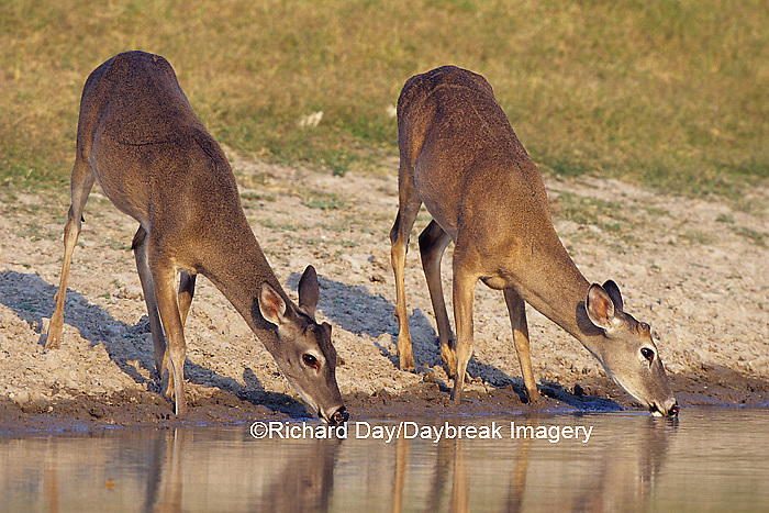 01982-05018 White-tailed Deer (Odocoileus virginianus) button bucks drinking at water  Starr Co. TX