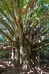 Banyon Tree, Ohe'o Gulch