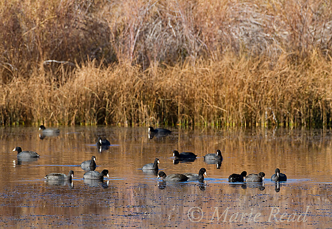 American Coots (Fulica americana) flock swimming/foraging in a pond in autumn, Mono Lake Basin, California, USA
