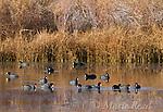 American Coots (Fulica americana) flock swimming/foraging in a pond in autumn, Mono Lake Basin, California, USA