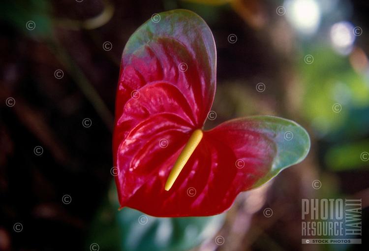 heart shaped valentine anthurium flower