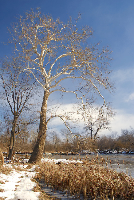 A majestic Sycamore (Platanus occidentalis) tree frame the DuPage River in Hammel Woods Forest Preserve in Winter, Will County, Illinois
