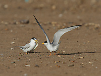 Least Tern (Sterna antillarum), adult male feeding fish to female, Port Isabel, Laguna Madre, South Padre Island, Texas, USA
