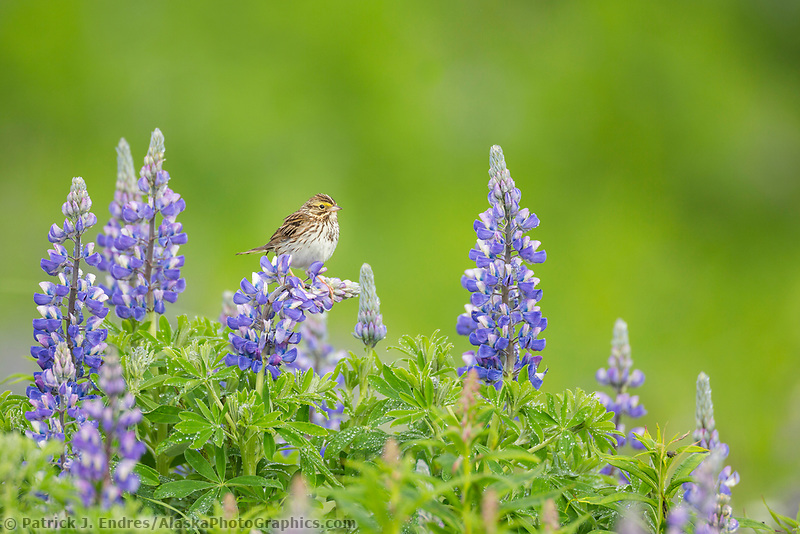 Savannah sparrow perches on a lupine blossom in a field of lupine, Katmai National Park, Alaska Peninsula, southwest Alaska.
