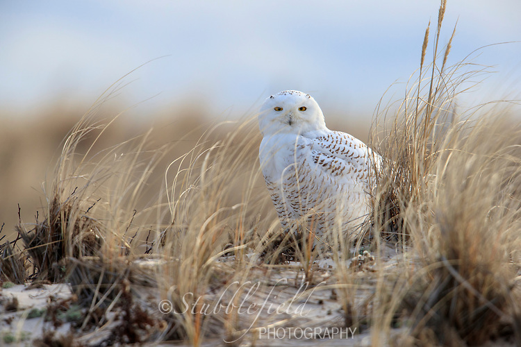 Snowy Owl (Bubo scandiacus) resting in the sand dunes near Shinnecock Inlet, Southampton, Long Island, New York.