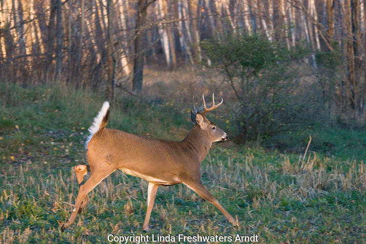 White-tailed buck(s) (Odocoileus virginianus) running