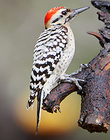 Adult male ladder-backed woodpecker