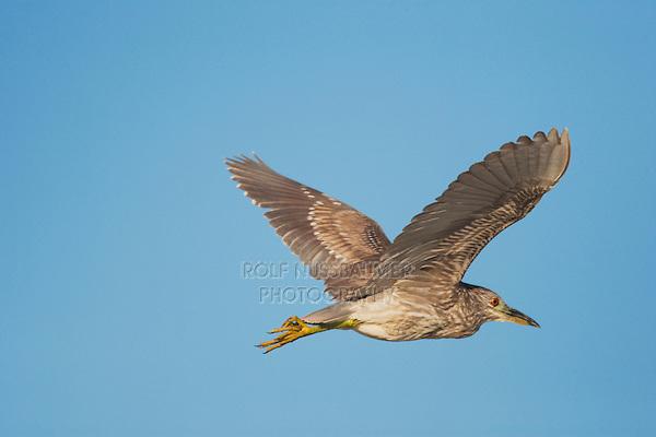 Black-crowned Night-Heron (Nycticorax nycticorax), young in flight, Sinton, Corpus Christi, Coastal Bend, Texas, USA