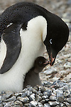 An adelie penguin sits on its nest with its chick on Brown Bluff on the Antarctic Peninsula.