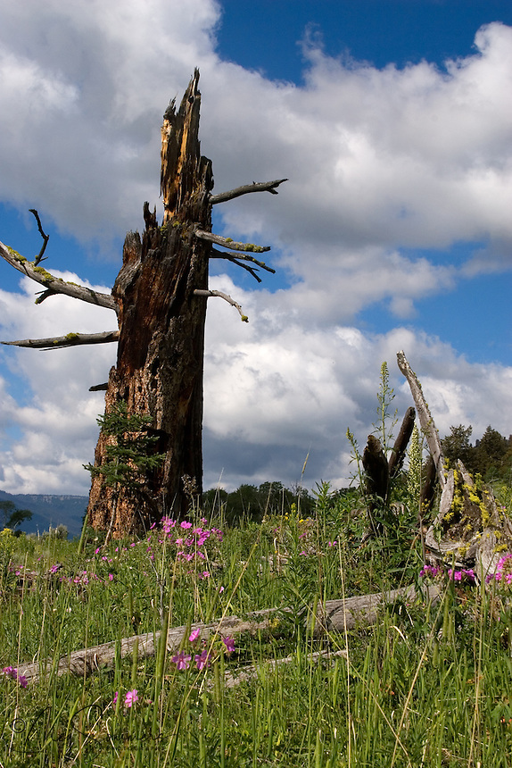 This ancient pine once had a life of its own, before the lighting struck it dead. But there is rebirth in all of nature. Here, among the sticky geraniums and other wildflowers, a new pine struggles on.