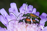 Kleiner Schmalbock, Gemeiner Schmalbock, Schwarzschwänziger Schmalbock, Paarung, Kopulation, Kopula, Männchen und Weibchen, Blütenbesuch, Stenurella melanura, Strangalia melanura, Black and red Longhorn Flower Beetle, black-striped longhorn beetle, pairing, copulation