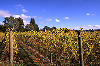 Vineyards of Chandon in Wine Country Southeast Victoria Yarra Mountains near Lilydale Australia