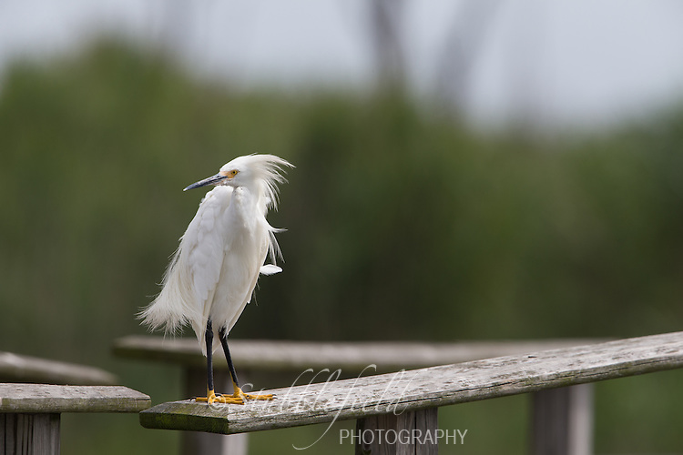 Snowy Egret (Egretta thula thula), adult resting on a bridge at the Oceanside Marine Nature Study Area in Hempstead, New York.
