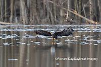 00807-03802 Bald Eagle (Haliaeetus lecocephalus) fishing Clinton Co. IL