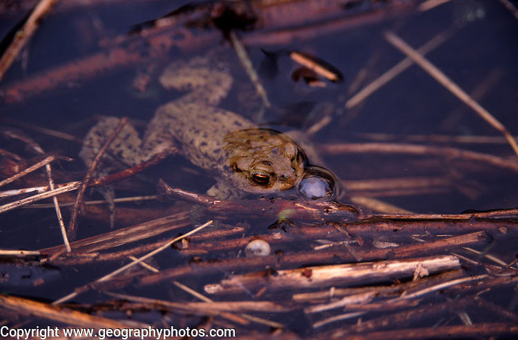 AE2BW1 Common frog resting on a sticks in a pond