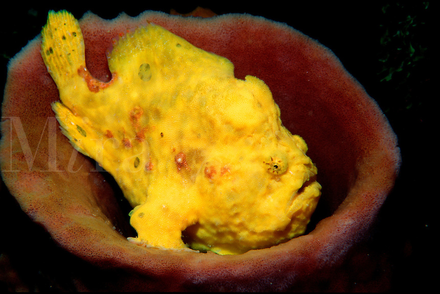 Longlure frogfish, Antennarius multiocellatus, Dominica, Atlantic Ocean