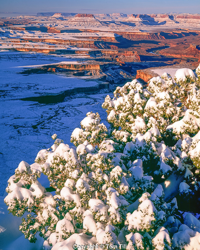 Wintry sunrise at Green River Overlook, Canyonlands National Park, Utah, view from Island-in-the-Sky, White Rim below, Utah Juniper, juniperus osteosperma