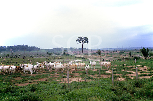Juruena, Amazon, Brazil. Fazenda Sao Marcelo; cattle on newly cleared rainforest land.