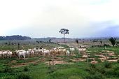 Juruena, Amazon, Brazil. Fazenda Sao Marcelo; cattle on newly cleared rainforest land.