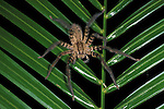 Huntsman Spider, Heteropoda, on palm leaf, Belize.Belize....