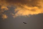 Bird flying below glowing orange clouds at sunset