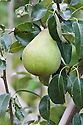Pear 'Invincible', early September. An unusual variety that flowers twice each spring, so if the first wave of blossom is damaged by frost a second wave follows on. Harvesting can last for more than four weeks in September and October, and fruits can be eaten soon after picking or stored until late winter.