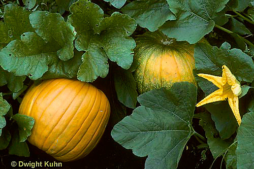 HS24-014b  Pumpkin -with flower growing in garden