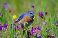 Male Western Bluebird (Sialia mexicana)