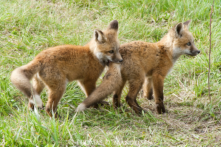 Two red fox kits play in a meadow in Wyoming.