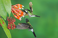 Tourmaline Sunangel (Heliangelus exortis), male female pair feeding from flower,Papallacta, Ecuador, Andes, South America