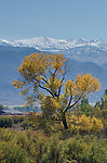 Autumn cottonwood (Populus sp.) and the snow-capped Sweetwater Mountains, Antelope Valley, California