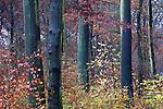 Europa, DEU, Deutschland, Nordrhein Westfalen, NRW, Rheinland, Ruhrgebiet, Muelheim, Wald, Waldgebiet Uhlenhorst, Herbst, Baeume, Kategorien und Themen, Natur, Umwelt, Landschaft, Jahreszeiten, Stimmungen, Landschaftsfotografie, Landschaften, Landschaftsphoto, Landschaftsphotographie, ....[Fuer die Nutzung gelten die jeweils gueltigen Allgemeinen Liefer-und Geschaeftsbedingungen. Nutzung nur gegen Verwendungsmeldung und Nachweis. Download der AGB unter http://www.image-box.com oder werden auf Anfrage zugesendet. Freigabe ist vorher erforderlich. Jede Nutzung des Fotos ist honorarpflichtig gemaess derzeit gueltiger MFM Liste - Kontakt, Uwe Schmid-Fotografie, Duisburg, Tel. (+49).2065.677997, ..archiv@image-box.com, www.image-box.com]