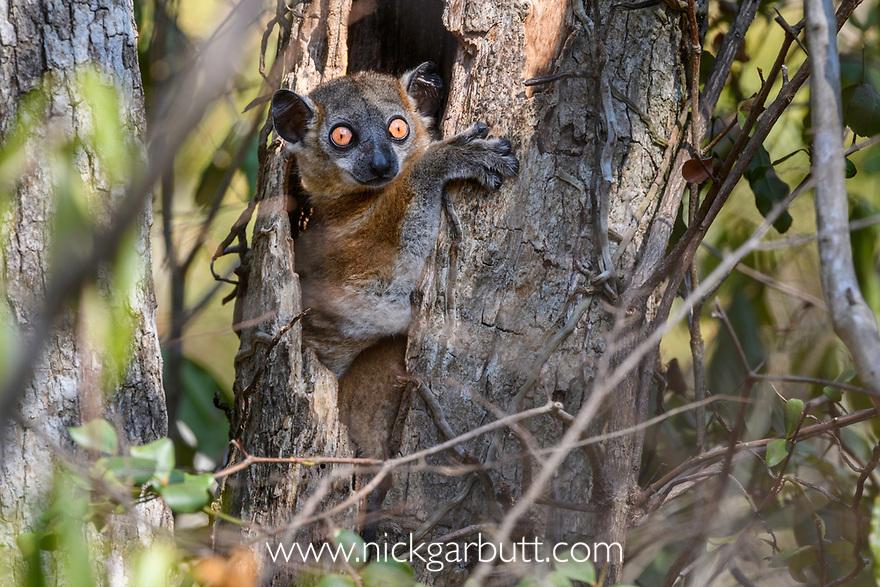 Zombitse Sportive Lemur (Lepilemur hubbardorum) in day time rest tree hole. Dry forests, Zombitse National Park, southern Madagascar.