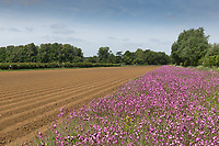 Wild flower mix on a field margin<br /> &copy;Tim Scrivener Photographer 07850 303986<br /> ....Covering Agriculture In The UK....