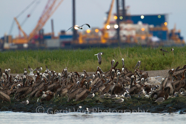 Adult Brown Pelicans (Pelecanus occidentalis) roosting on Queen Bess Island in Barataria Bay. The nesting colony on this island was heavily impacted by the Gulf oil spill. Response vessels are seen in teh background. Jefferson Parish, Louisiana. July 2010.