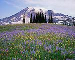 Mount Rainier National Park, WA:  A meadow of alpine wildflowers including lupine (Lupinus latifolius var. subalpinus) western anemone (Anemone occidentalis) and paintbrush (Castilleja parviflora) on Mazama Ridge with Mount Rainier