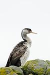 Spotted Shag (Phalacrocorax punctatus) juvenile, Kaikoura, South Island, New Zealand