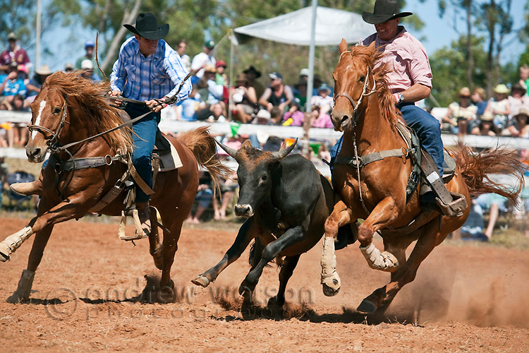 Steer wrestling (also known as bulldogging) competition at Mt Garnet Rodeo.  Mt Garnet, Queensland, Australia