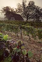 Europe/France/Midi-Pyrénées/46/Lot/Saint-Sulpice : Matin brumeux sur les vignes