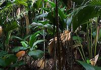 Seychelles, Island Praslin, National Park Vallee de Mai (UNESCO natural world heritage): Coco de Mer (Lodoicea maldivica) - forest<br />