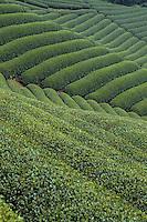 Asie/Japon/Nara: Champ de thé
